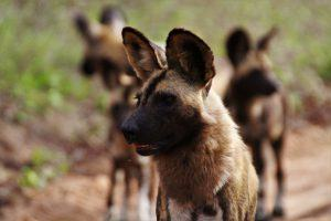 Wild dogs at Silvan Safari