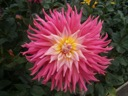 Rose jupiter