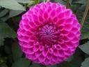 Marston lilac