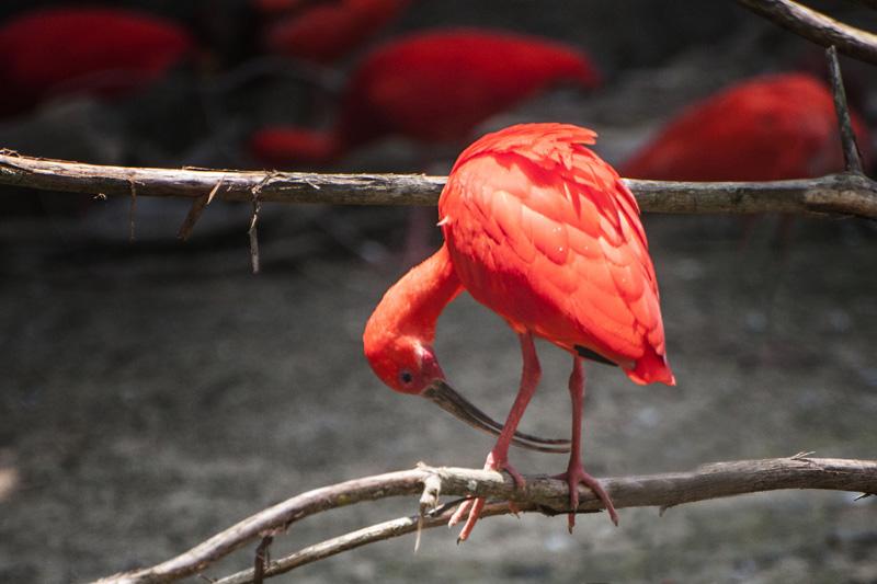 Crimson Ibis