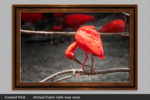 scarlet ibis photos