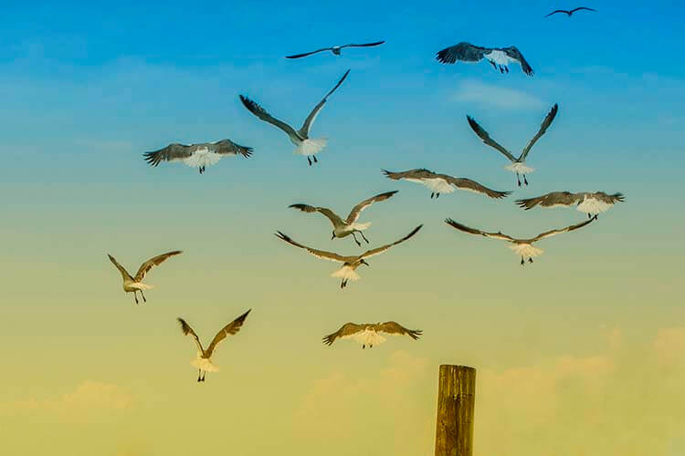 pictures of seagulls flying