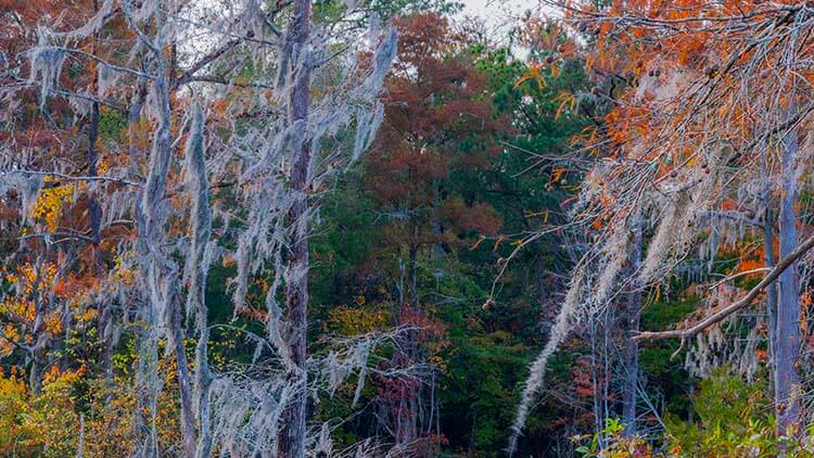 spanish moss pictures