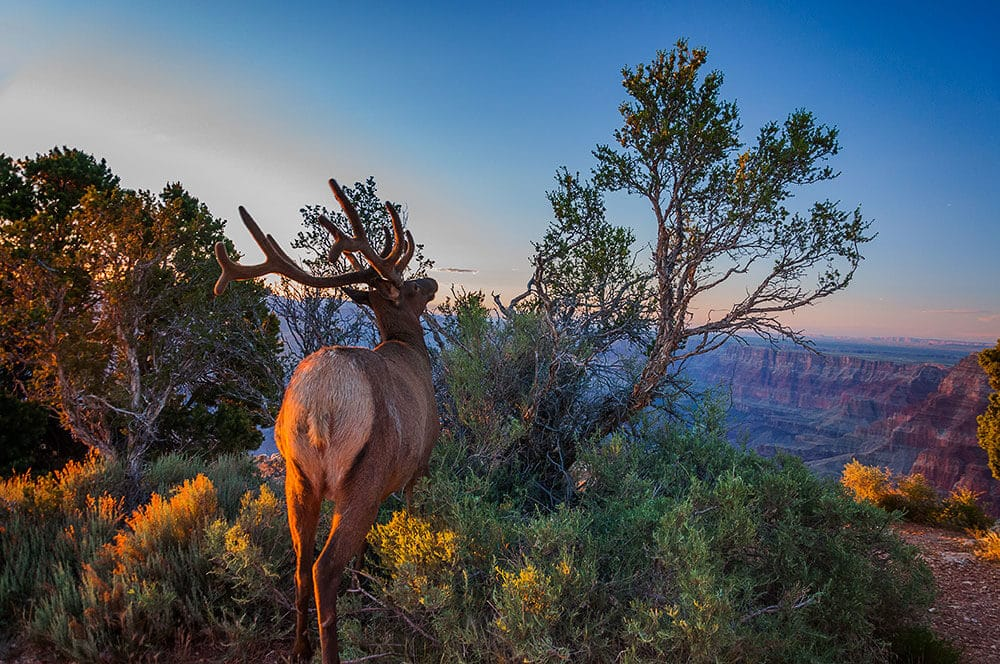 stag on the grand canyon