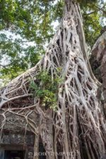 angkor wat tree roots photo