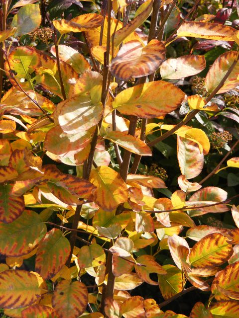 amelanchier-31-october-2016-007