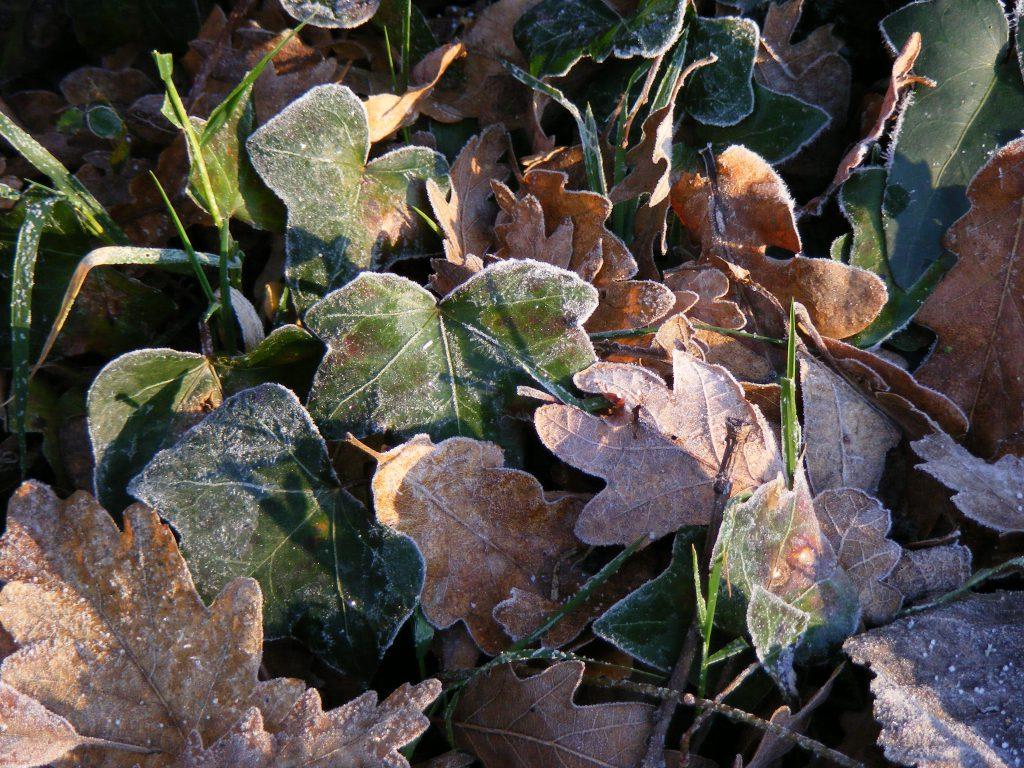 ivy-and-oak