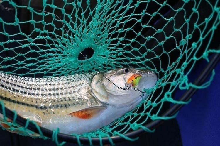 Tiger Fish 1
