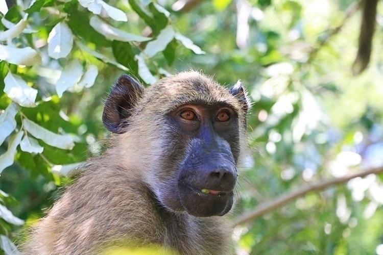 Baboons of Victoria Falls 2