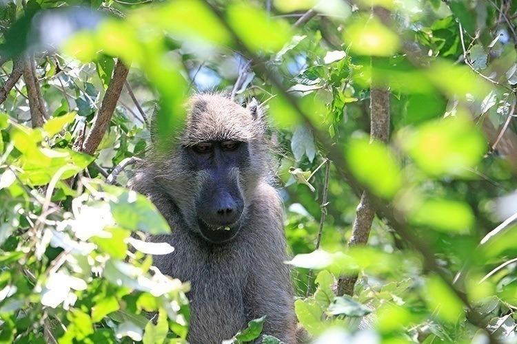 Baboons of Victoria Falls 3