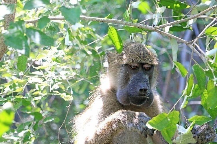 Baboons of Victoria Falls 4