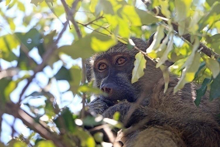 Baboons of Victoria Falls 5