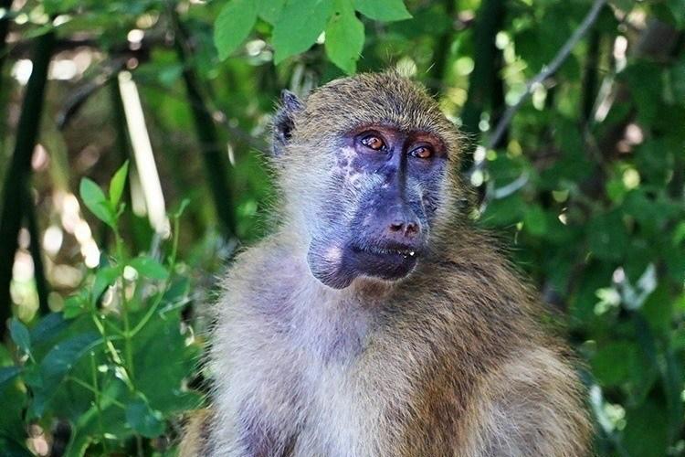 Baboons of Victoria Falls 9