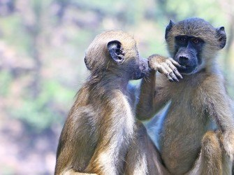 Encounters-with-baboons