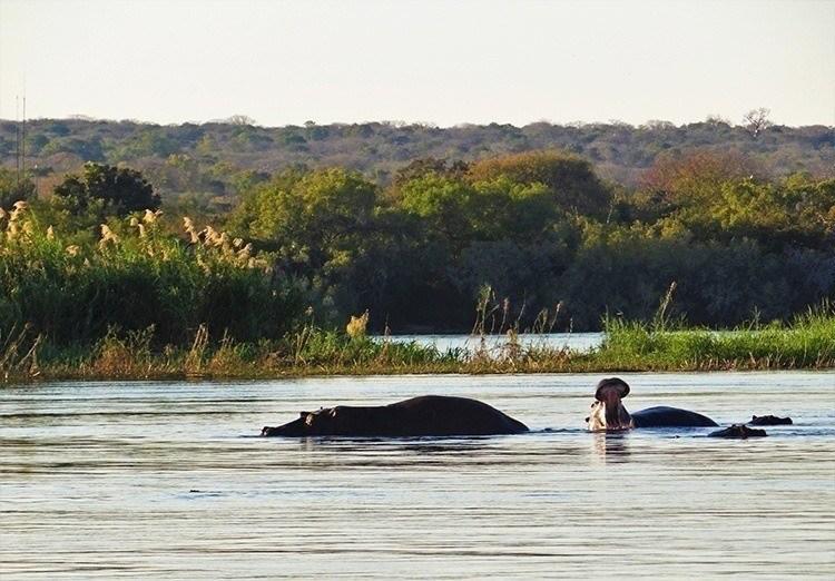 Royal Chundu Hippos
