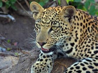 leopard-kind