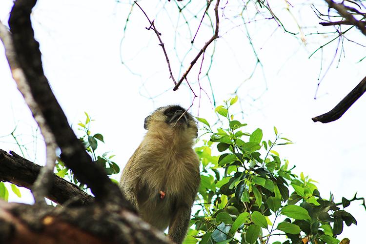 monkey-gaze