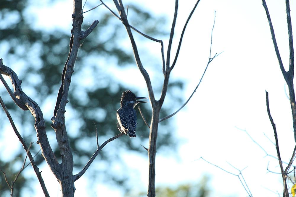 Zambezi Birdie