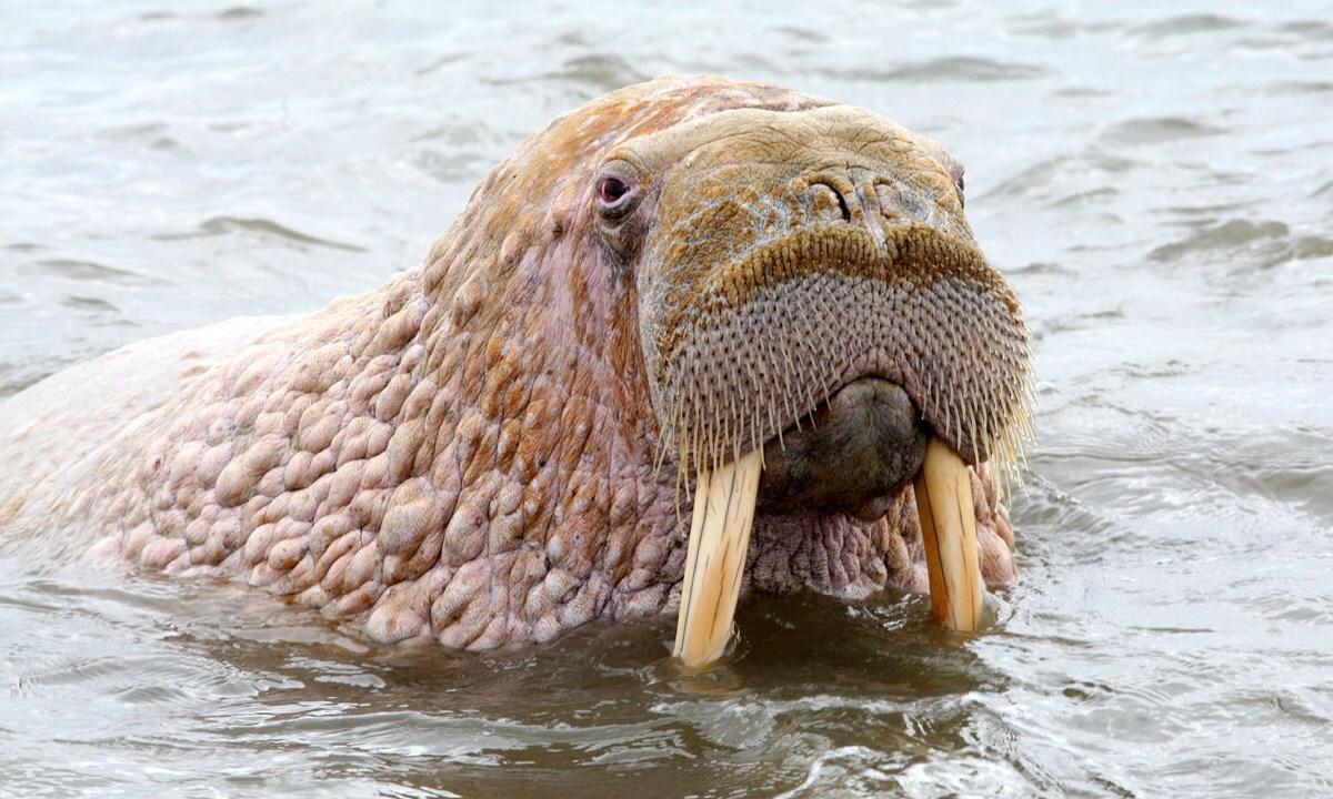 Odobenus rosmarus laptevi laptev walrus