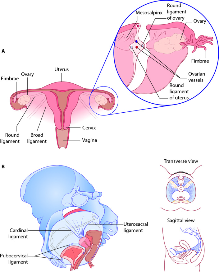 Figure 1.6 Blood supply of the pelvis and perineum.