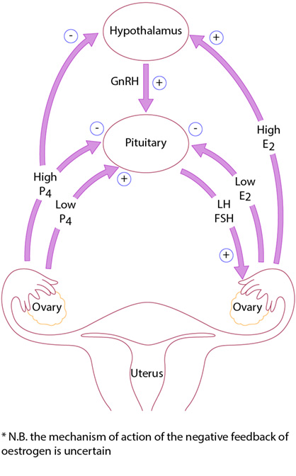 Figure 3.1 Hypothalamus–pituitary axis. (E2, oestrogen; FSH, follicle-stimulating hormone; GnRH, gonadotrophin-releasing hormone; LH, luteinizing hormone; P4, progesterone.)