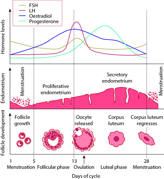 Figure 3.2 Changes in hormone levels, endometrium and follicle development during the menstrual cycle.