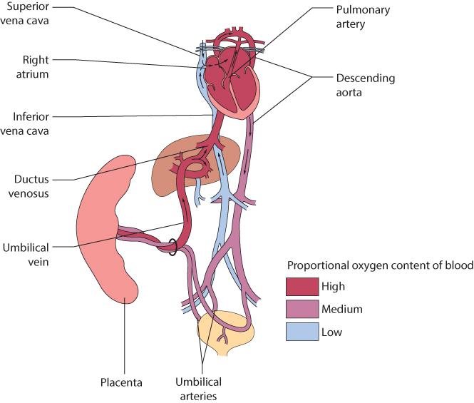 Figure 3.2 Diagrammatic representation of fetal circulation. (Adapted from Harrington K, Campbell S. A Colour Atlas of Doppler Ultrasonography in Obstetrics, London: Arnold, 1995.)