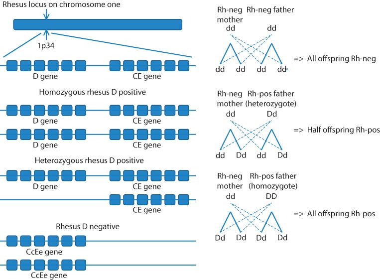 Figure 6.8 The parental genotype determinants of rhesus phenotype.