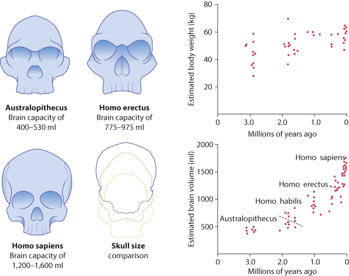 Figure 8.1 Evolution of the human skull.
