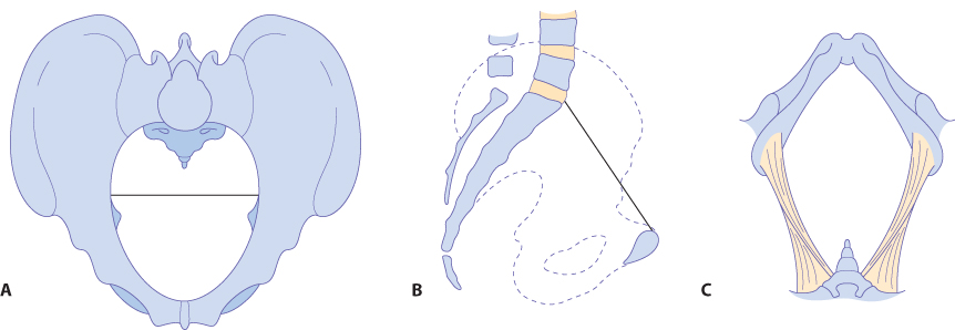 Figure 12.7 The anthropoid pelvis: (A) brim; (B) lateral view; (C) outlet.