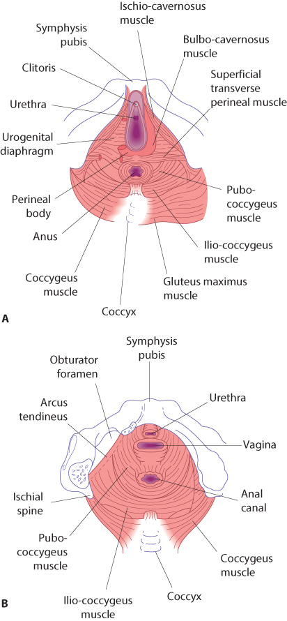 Figure 12.10 The perineum, perineal body and pelvic floor from below, showing superficial (A) and deeper (B) views. The pelvic floor muscles are made up of the levator ani (pubo-coccygeus and ilio-coccygeus).