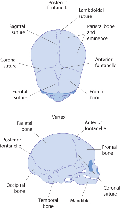 Figure 12.11 The fetal skull from the superior and lateral views.