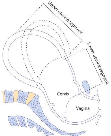 Figure 12.15 The thick upper segment and the thin lower segment of the uterus at the end of the first stage of labour. The dotted lines indicate the position assumed by the uterus during contraction.