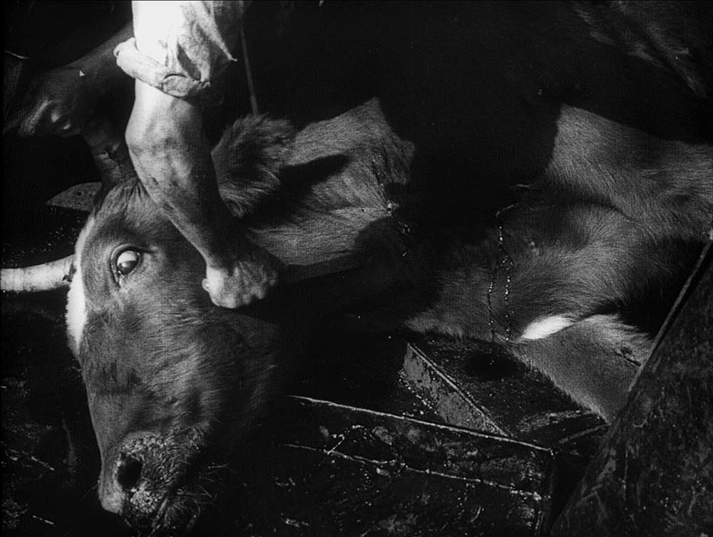 Figure 6.12 Strike: Sergei Eisenstein intercuts a bull being slaughtered with . . .