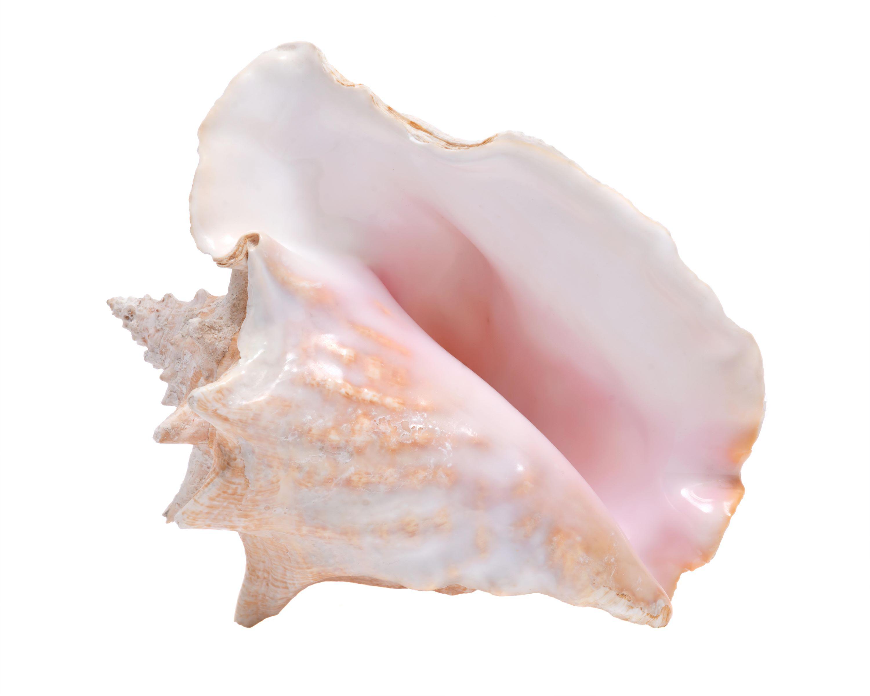 Große Queen Conch Meeresschnevcke auf weißem Hintergrund