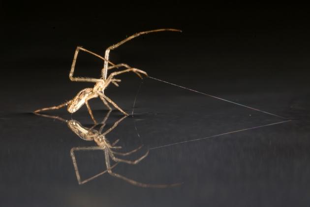 Les araignées-montgolfières peuvent naviguer sur les 7 mers