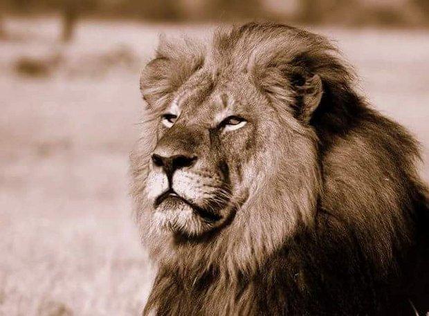 La mort de Cecil le lion montre l'un des pires côtés de la nature humaine