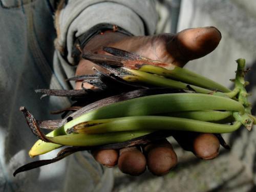 Madagascar : Des vols en masse menace la campagne de commercialisation de la vanille à Madagascar