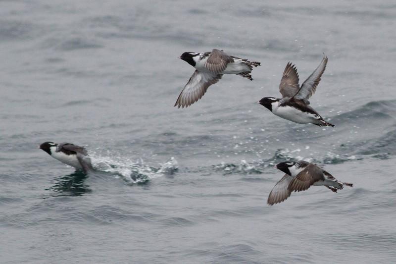 L'oiseau qui vole sur 16 000 km à travers le Pacifique sans aucune raison