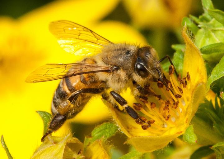 Comment les abeilles vaccinent-elles naturellement leurs petits ?
