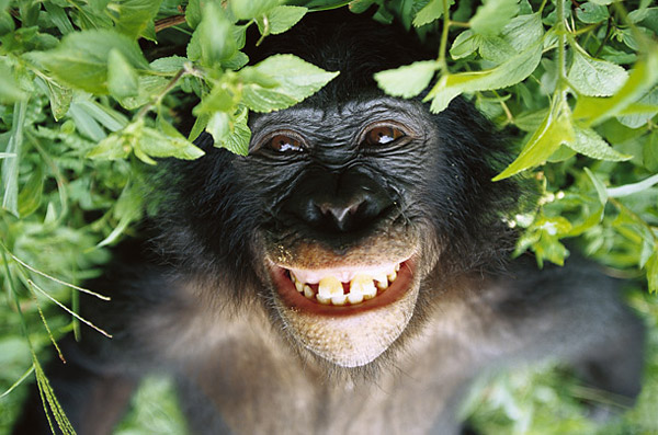 Les bonobos possèdent une communication similaire aux humains