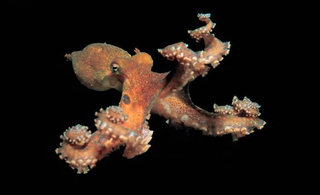Le génome de la pieuvre révèle une intelligence complexe
