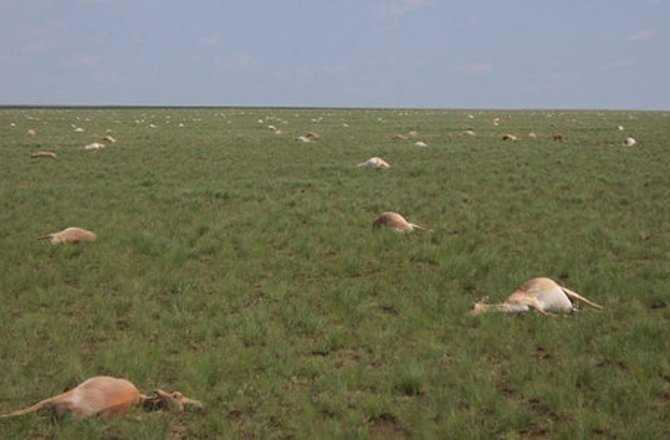 60 000 antilopes mortes en 4 jours