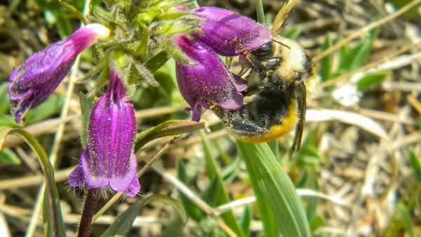 La langue des abeilles rétrécie par le réchauffement climatique
