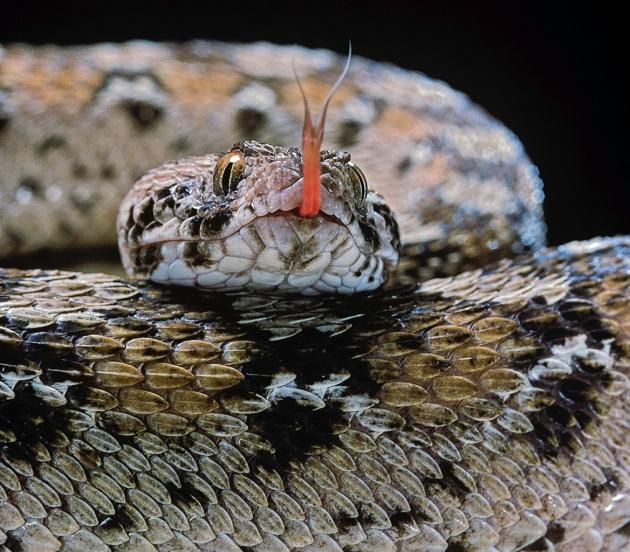 L'Afrique face aux morsures de serpent