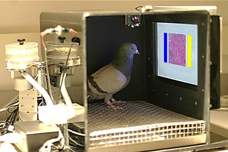 Des pigeons ont appris à détecter le cancer du sein