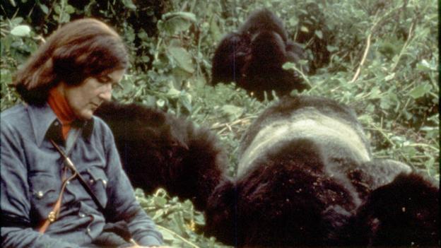 La technique d'accoutumance de Diane Fossey avec les gorilles
