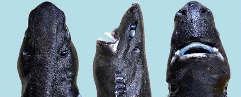 Ninja Lanternshark, une nouvelle espèce de requin qui brille dans le noir