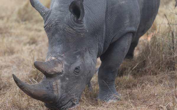 Le braconnage de rhinocéros bat son plein en Afrique du Sud