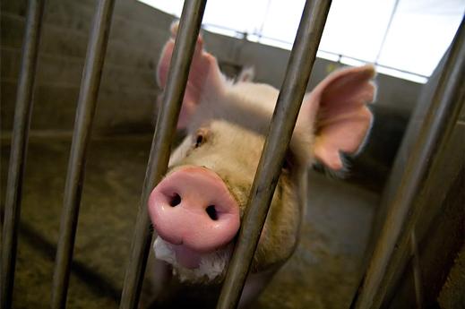 Ce porc pourrait être utilisé pour créer des chimères animales-humaines